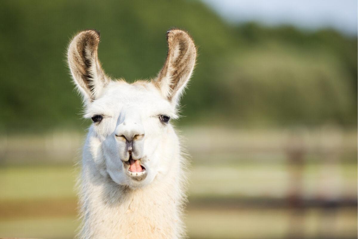 Llama pulling face