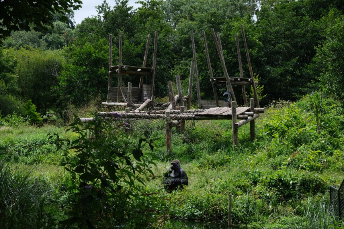 Ape at Paignton Zoo