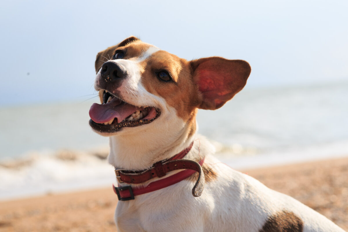 Jack Russel dog on beach